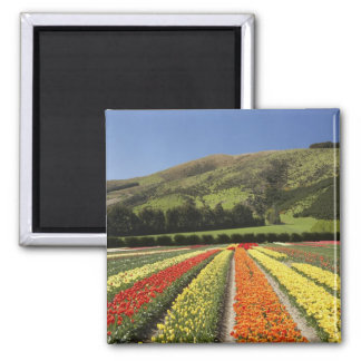 Tulip Fields, near Tapanui, West Otago, South 2 Square Magnet