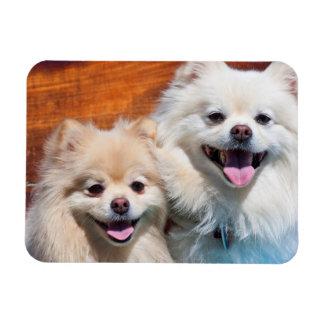 USA, California. Portrait Of Two Pomeranians Rectangular Photo Magnet