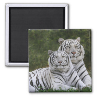 White phase, Bengal Tiger, Tigris Square Magnet
